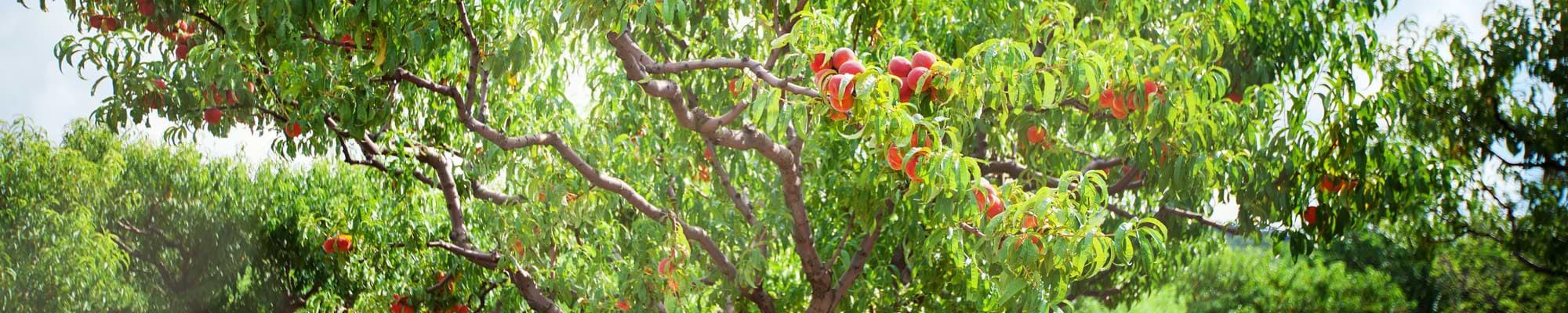Aprikosenbaum Elbak in Griechenland
